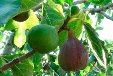 Valencia-Granados y sus variedades de higos