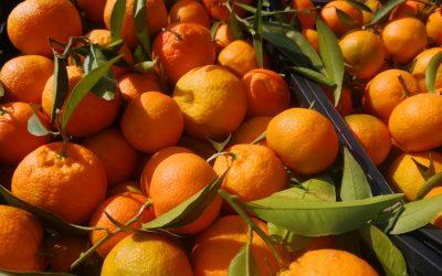 Últimas Clementinas de la temporada Variedad Hernandina